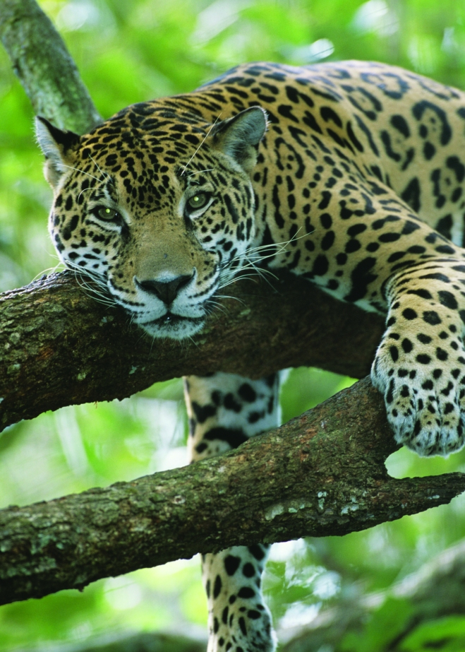 DOW_Jaguar2
